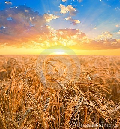 Free Wheat Fields At The Early Morning Royalty Free Stock Photography - 23809567