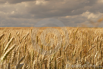 Wheat fields with clouds