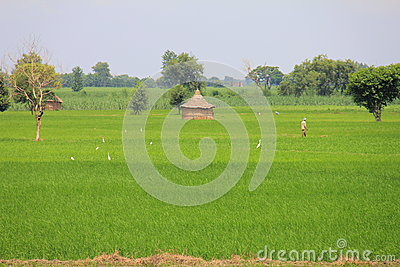 Wheat fields, farmers, hut and Cattle egrets Editorial Stock Photo