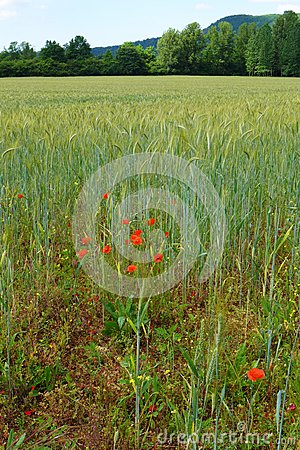 Wheat fields with red poppies