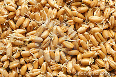 Wheat germs background