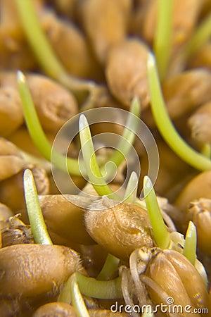 Wheat germs macro