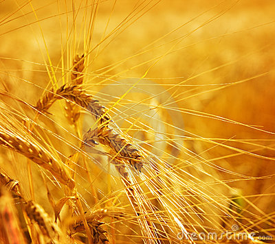 Wheat grain agriculture