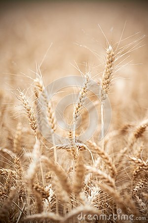 Free Wheat Grain Crop Ears On Field Royalty Free Stock Images - 32352149