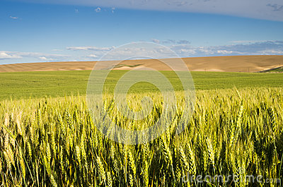 Wheat or grain farmscape