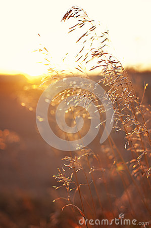 Wheat/Grains on a Prairie Sunset