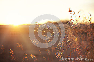 Wheat/Grains on a Prairie Sunset Lens Flare