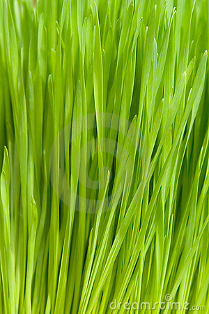 Free Wheat Grass Stock Photo - 138560