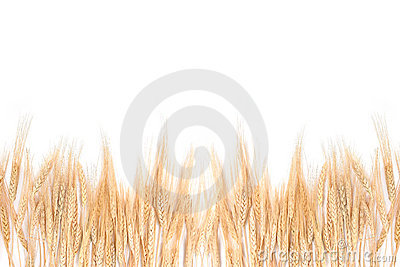 Wheat Grass Bordering on a White Background