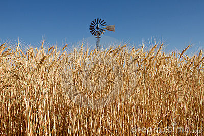 Wheat Grass in Farm Field with Windmill