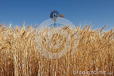 Wheat Grass in Farm Field with Windmill