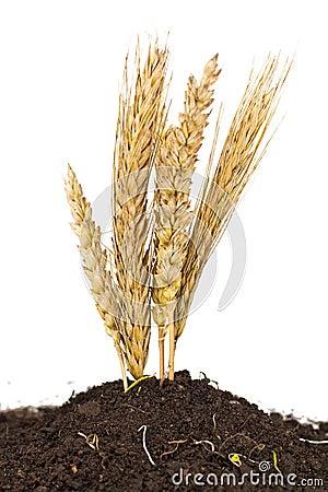 Wheat grows