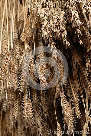 Wheat hanging to dry