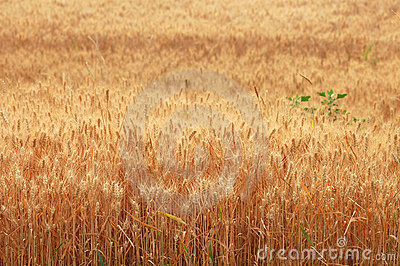 Wheat harvest  8