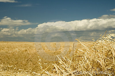 Wheat harvest time 1