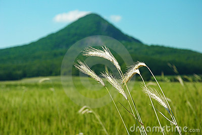 Wheat with hill