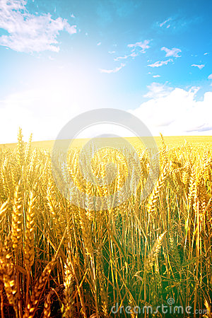 Free Wheat In The Early Morning Sun With Blue Sky In Background Stock Image - 47298991