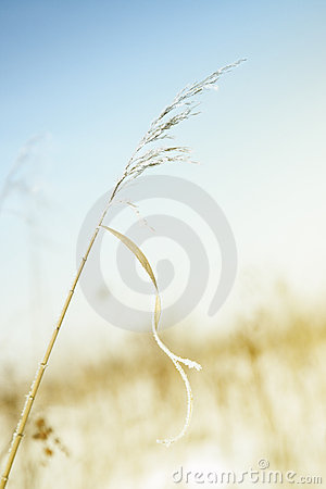 Free Wheat In Winter Stock Images - 13405554