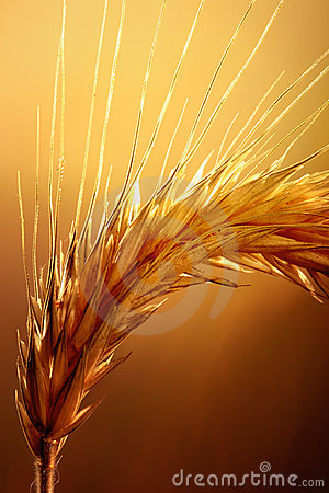 Free Wheat Macro Stock Photos - 22118743