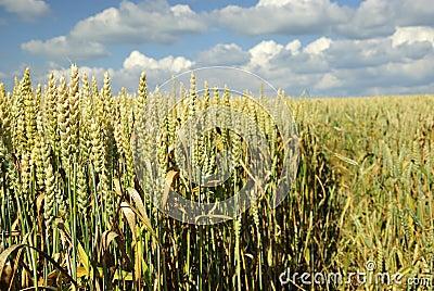 Wheat meadow field closeup