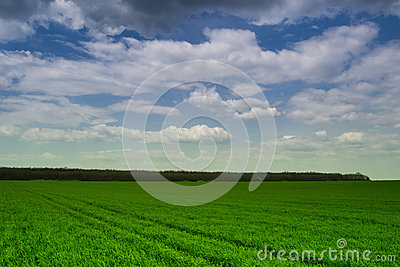 Wheat plantation