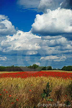 Wheat and poppy field