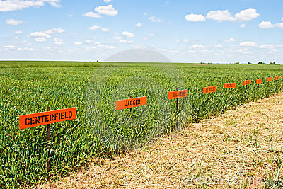 Wheat Research Field Editorial Image