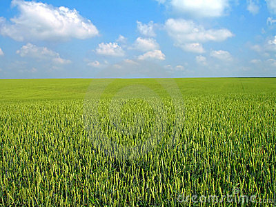 Wheat s field