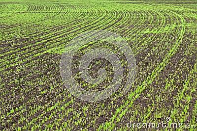 Wheat seedlings grown in the rural fields in early
