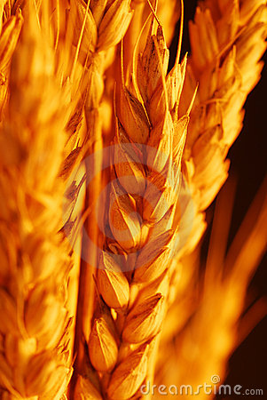 Wheat selective focus