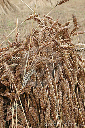 Wheat sheaf drying
