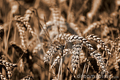 Wheat Sheafs