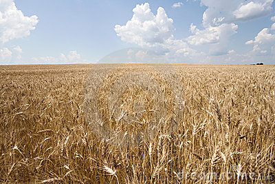 Wheat And Sky Stock Image - Image: 14793331