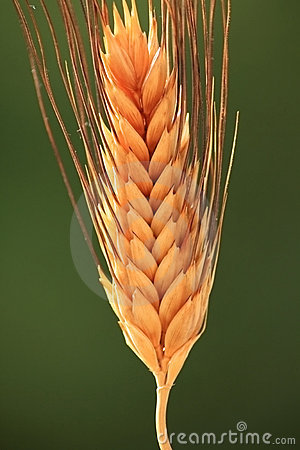 Free Wheat Spike Royalty Free Stock Photography - 13529527