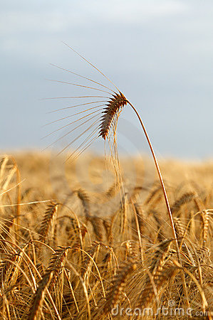 Free Wheat Spike Royalty Free Stock Photography - 2921667