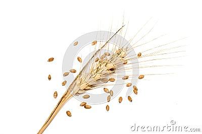 Wheat spike with seeds