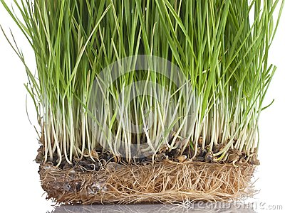 Wheat sprouts close-up,  isolated on white