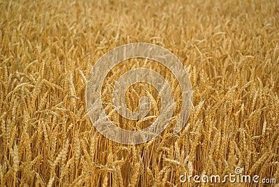 Wheat Stalk Stock Photography - Image: 2884482