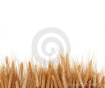 Wheat Stalks Boarder