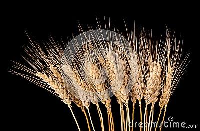 Wheat Stalks Isolated