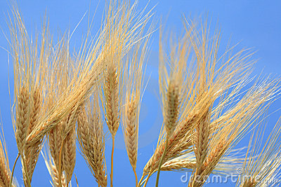 Wheat stems.