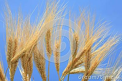 Wheat stems.