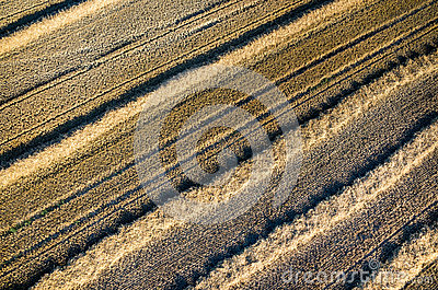 Wheat stubble Stock Photo
