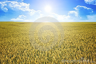 Wheat summer sun