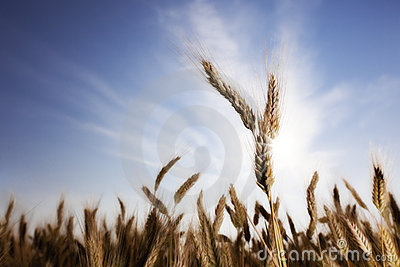 Wheat with sun