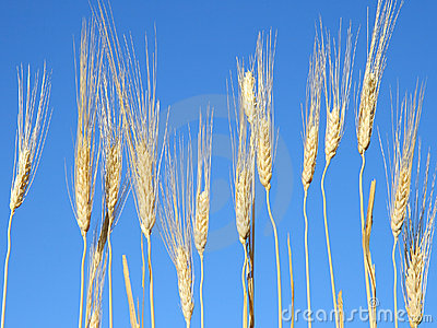 Wheat on a sunny day