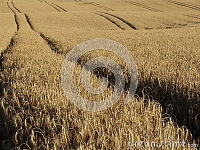 Wheat tracks
