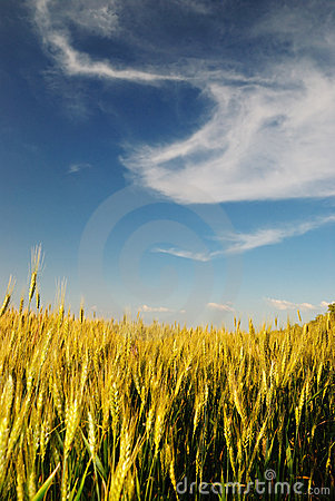 Free Wheaten Field Royalty Free Stock Images - 10344669