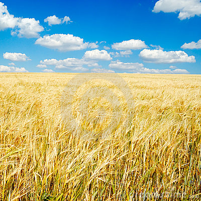Free Wheaten Field Royalty Free Stock Image - 5947326