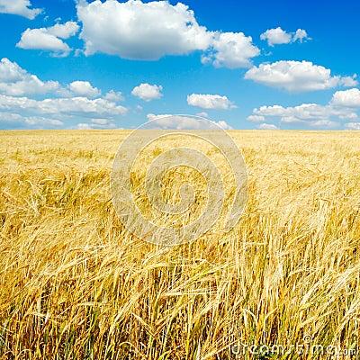 Free Wheaten Field Royalty Free Stock Photography - 6286617